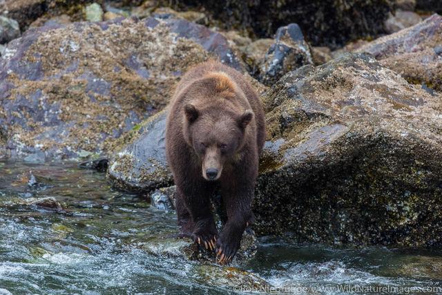Brown Bears Fishing