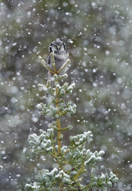 Arctic, Alaska, northern hawk owl, bird, photos