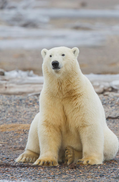 Arctic, Alaska, polar bear, bear, photos, Arctic National Wildlife Refuge, ANWR