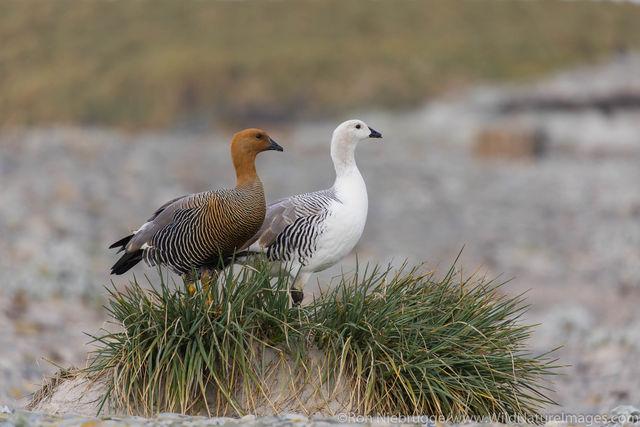 Falklands, Falkland islands, photos, bird