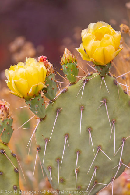 Prickley Pear Bloom