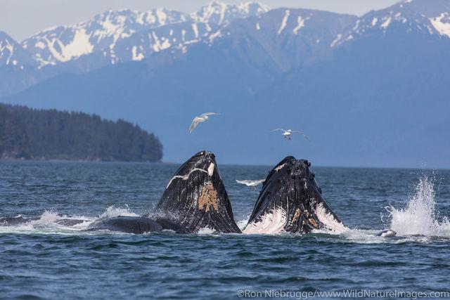Bubble Feeding Humpback Whales