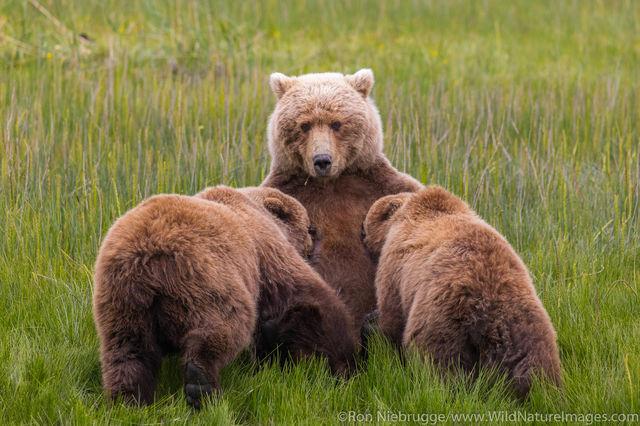 Nursing Grizzly Bear