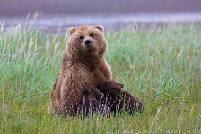 Brown Bear Nursing