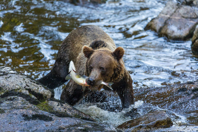 Fishing Grizzly Bear