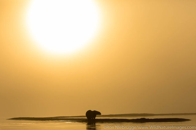 Arctic, Alaska, polar bears, bear, photos, Arctic National Wildlife Refuge, ANWR