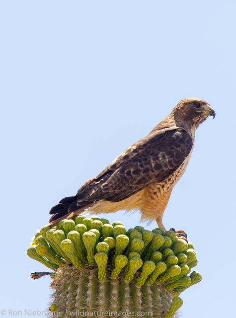 Red-tailed hawk,
