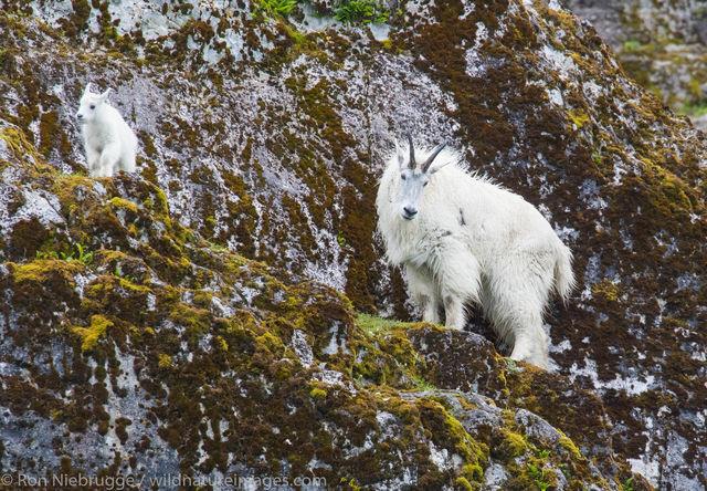Mountain goats, Glacier Bay National Park, Alaska, photos