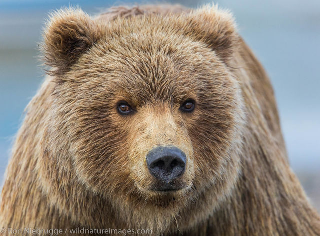 Lake Clark National Park, Alaska, , bear, photos