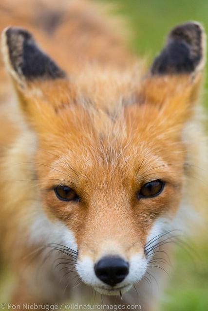 red fox, fox