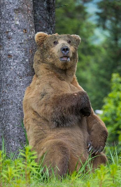 Lake Clark National Park, Alaska, brown bear, grizzly, bear, photos