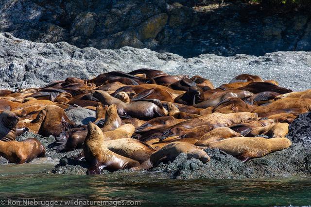 Steller Sea Lion haulout
