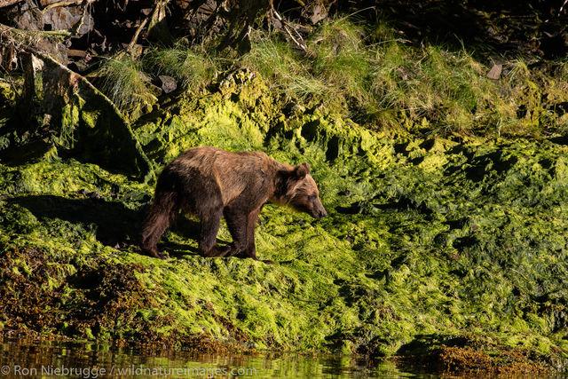Brown bear, Chichagof Island