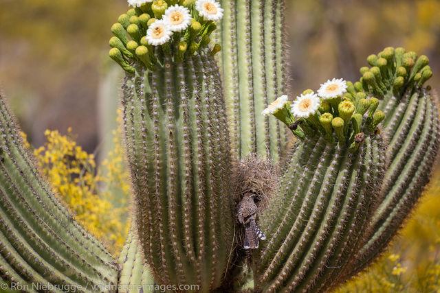 Nest Cactus Wren