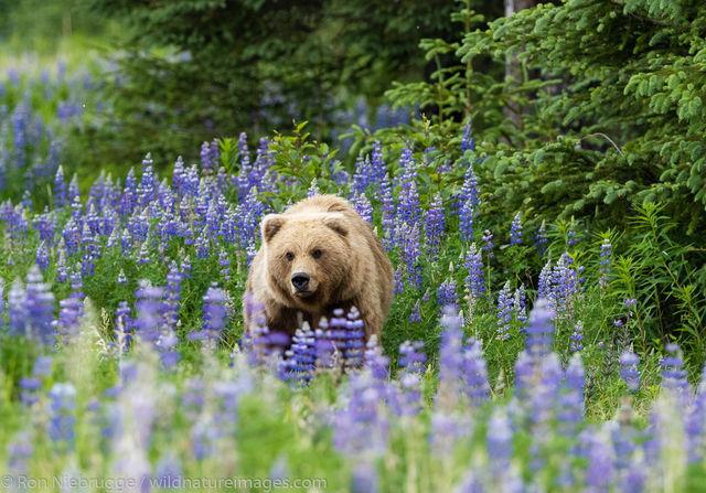 Brown Bear  in Lupine Field
