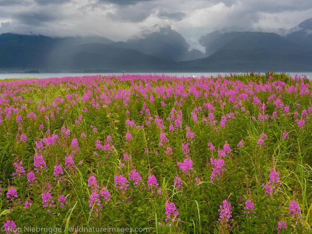 Tongass National Forest, Inside Passage, Alaska, tracy arm, fireweek