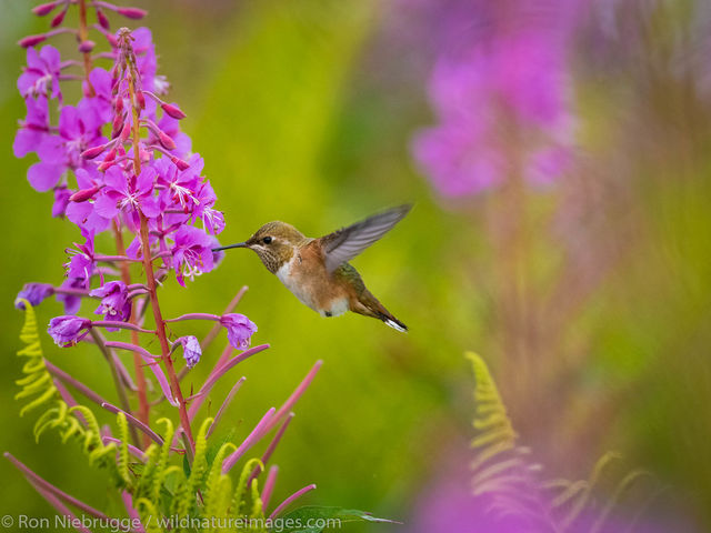 Tongass National Forest, Inside Passage, Alaska, hummingbird, bird, photos