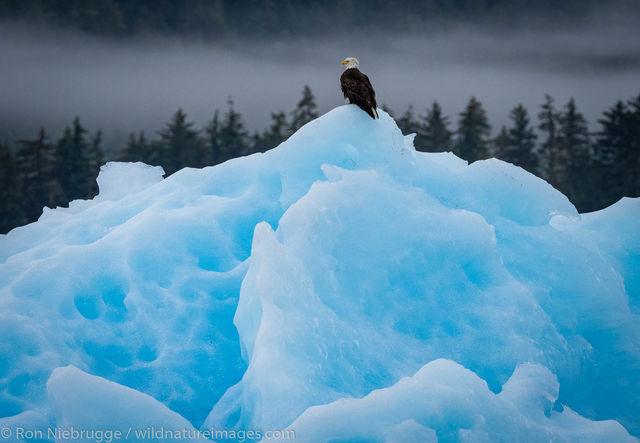 Tongass National Forest, Inside Passage, Alaska, iceberg, eagle, bald eagle