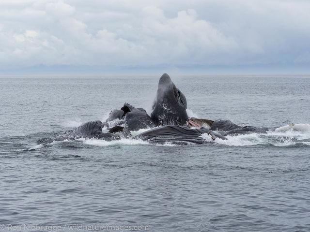 Bubble-net feeding humpback whales