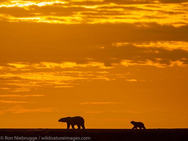 Arctic, Alaska, , bear, photos, Arctic National Wildlife Refuge, ANWR