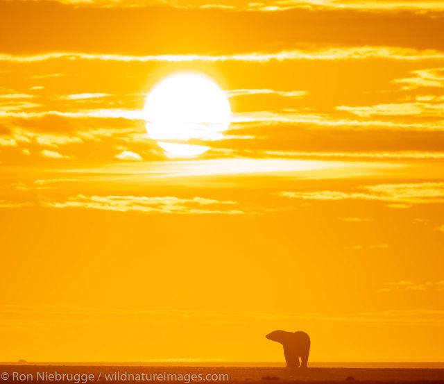 Polar Bears, ANWR, Alaska
