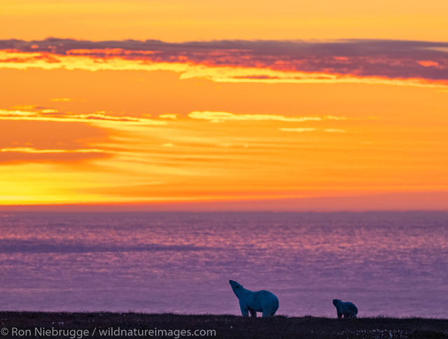 Arctic, Alaska, polar bear, sunset, bear, photos, Arctic National Wildlife Refuge, ANWR