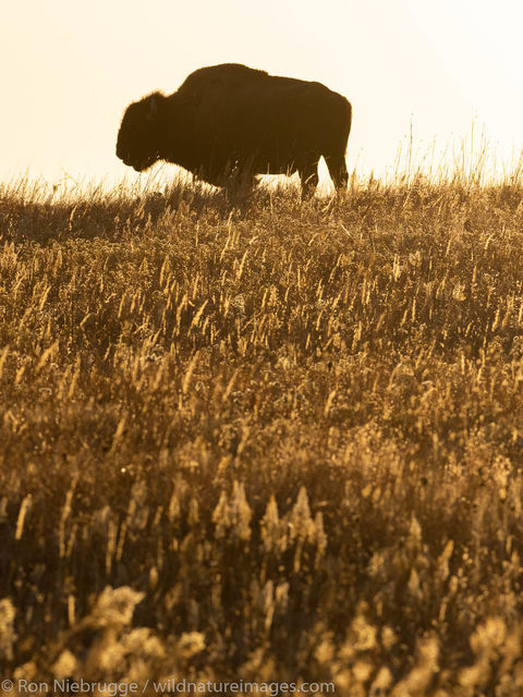 Bison on the Maxwell Wildlife Refuge