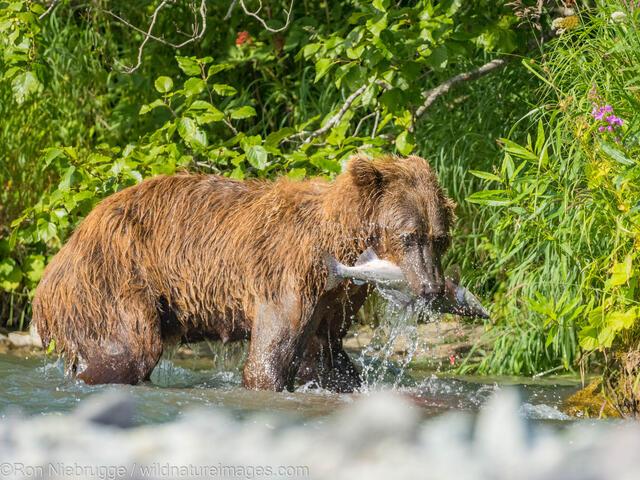 Fishing Brown Bear