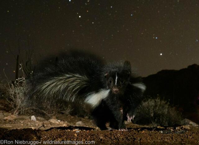 AZ, Arizona, Desert Photo Retreat, Marana, North America, Pima County, Ron Niebrugge, Tortolita Mountains, Tucson, USA, United...