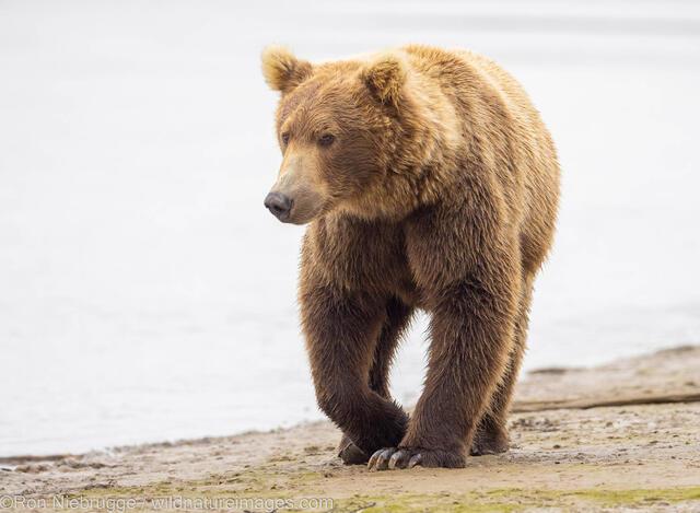 Brown bear in Katmai