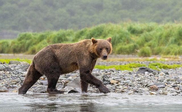 Katmai Brown Bear
