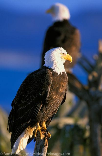 AK, Alaska, Alaskan, Americas, Bald eagle, Haliaeetus leucocephalus, Homer, Kenai Peninsula, National, North America, North American...