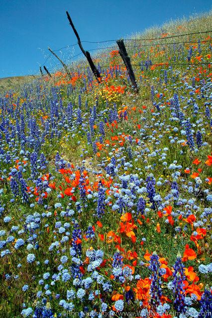Wildflowers, Gorman, California