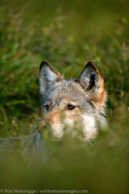 wolf, wolves, Denali National Park, Alaska