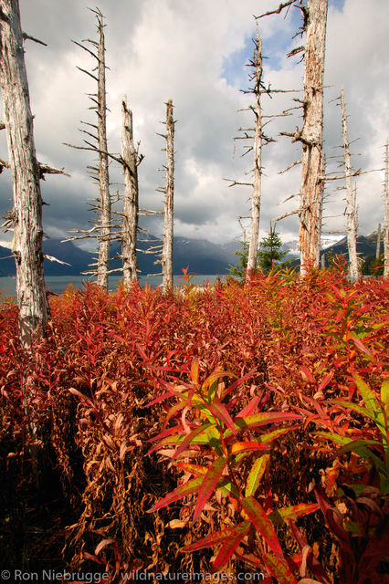 AK, Aialik, Ak., Alaska, Alaskan, Americas, Autumn, Epilobium angustifolium ssp. angustifolium, Fall, Fireweed, Ghost Forest...
