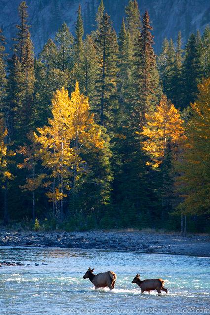 Elk cross Bow River