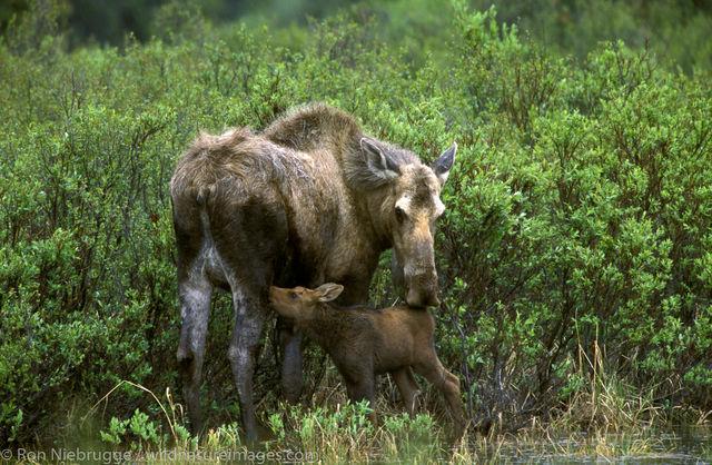 Moose nursing Calf
