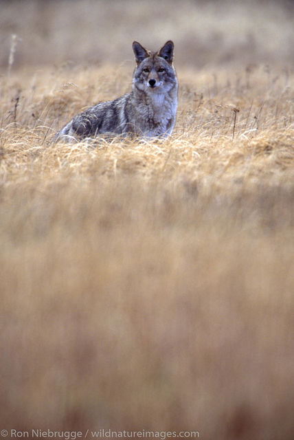 America, American, Americas, Autumn, Canis latrans, Carnivore, Coyote, Coyotes, Fall, National Park, National Parks, North, North...