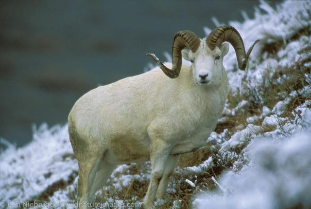 AK, Ak., Alaska, Americas, Bovidae, Dall, Dall's Sheep, Denali, Denali National Park, NP, National Park, North America, North...