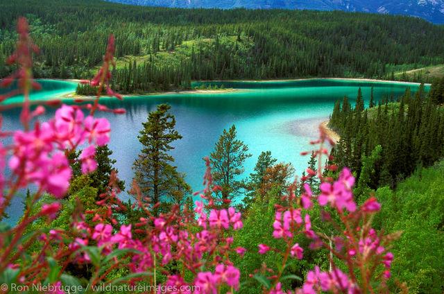 Fireweed and Emerald Lake