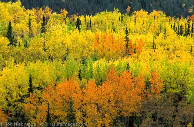 AK, Ak., Alaska, Americas, Autumn, Denali, Denali National Park, Fall, NP, National Park, North America, North American, Park...