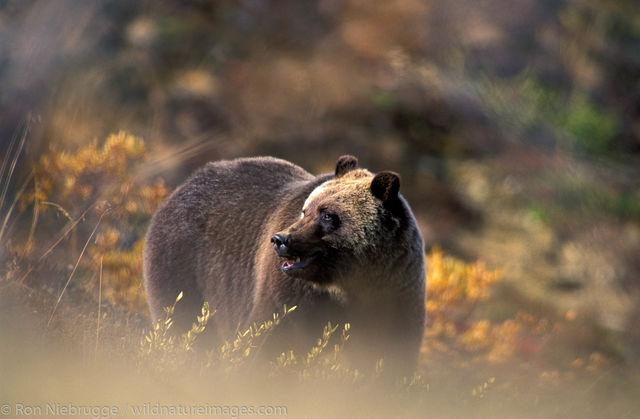 AK, Alaska, Autumn, Denali, Denali National Park, Fall, NP, National Park, Park, Ron Niebrugge, Ursidae, Ursus arctos, animal...