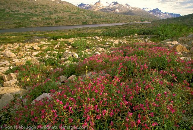 BC, British Columbia, Canada, Canadian, Epilobium latifolium, Fireweed, North, North America, North American, River beauty, Ron...