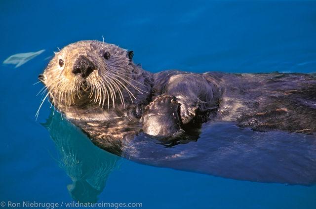 Sea otter, seward, Alaska