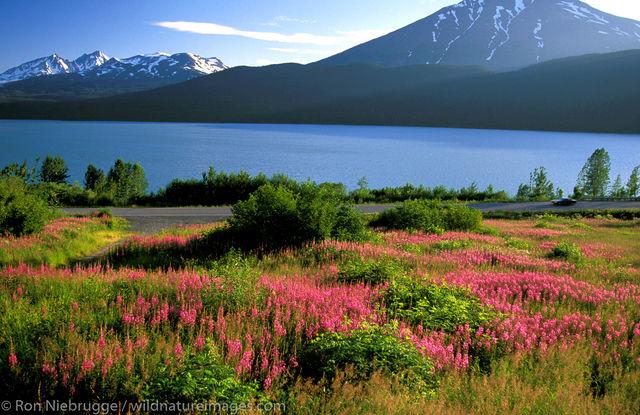 AK, Alaska, Alaskan, Americas, Epilobium angustifolium ssp. angustifolium, Fireweed, Kenai Lake, Kenai Peninsula, North America...