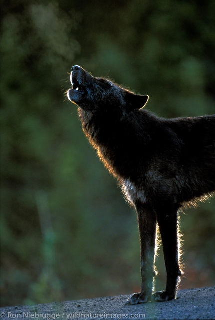 Denali National Park, Alaska, photo, picture, wolf, wolves, howl
