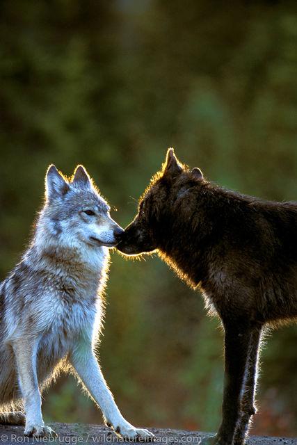 Denali National Park, Alaska, photo, picture, wolf, wolves