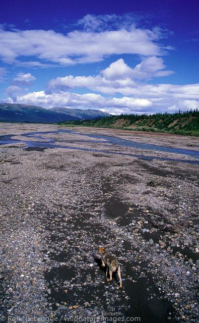 AK, Alaska, Alaskan, America, American, Americas, Canidae, Canis lupus, Denali, Denali National Park, NP, National Park, Niebrugge...
