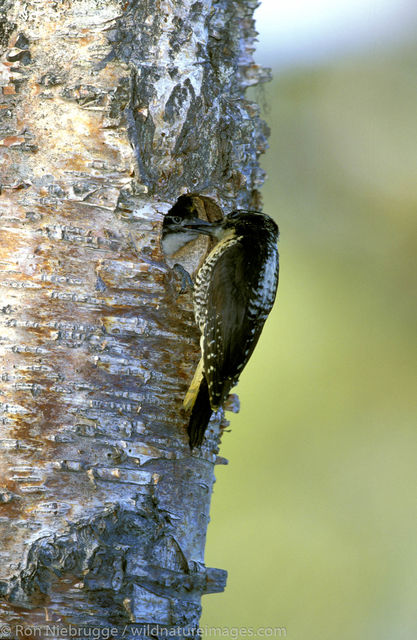 three-toed woodpecker nest