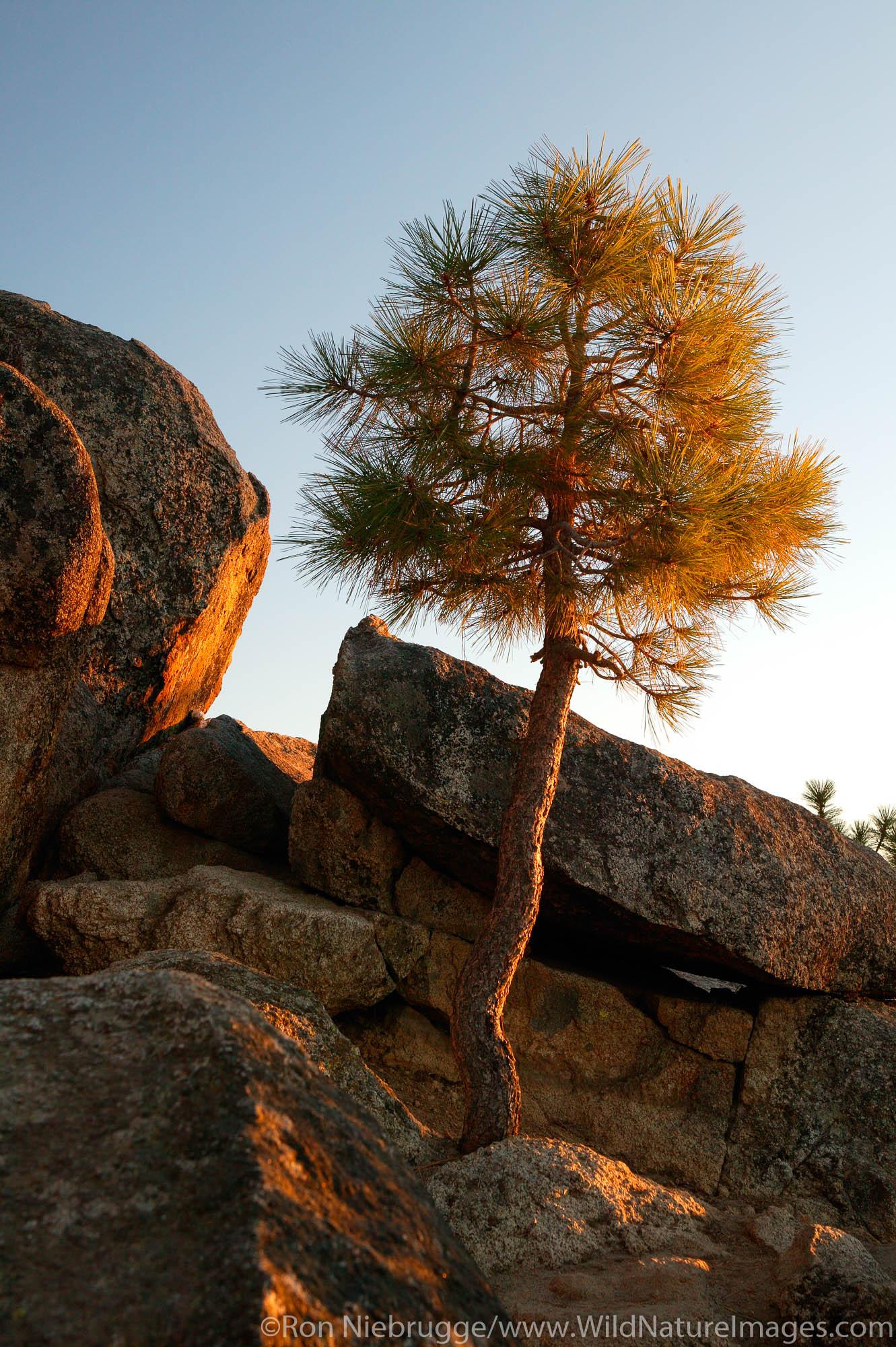 Ponderosa Pine, Lake Tahoe, Nevada / California.